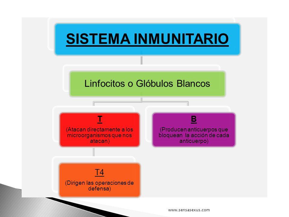 SISTEMA INMUNITARIO Linfocitos o Glóbulos Blancos T (Atacan directamente a los microorganismos que nos atacan) T4 (Dirigen las operaciones de defensa)