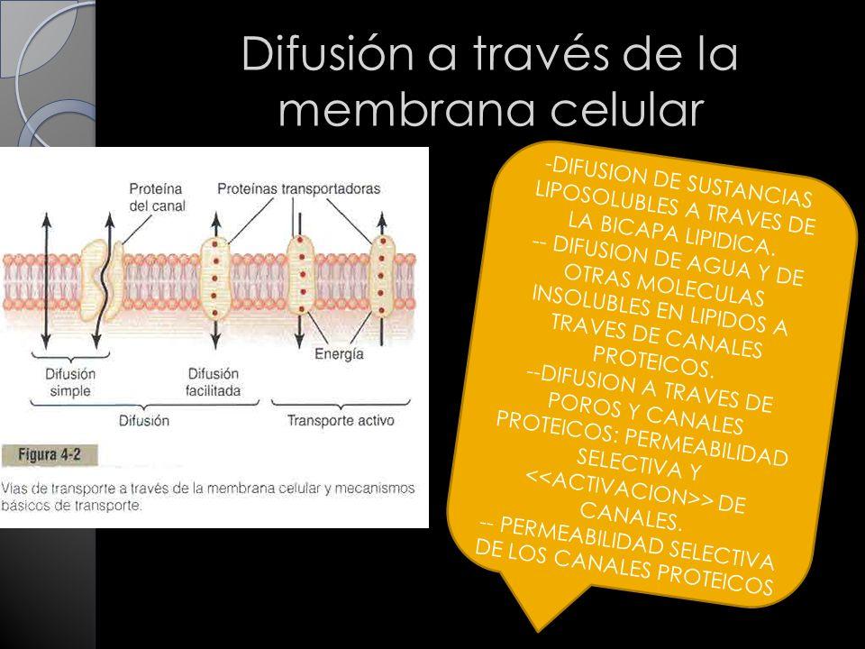 Difusión a través de la membrana celular -DIFUSION DE SUSTANCIAS LIPOSOLUBLES A TRAVES DE LA BICAPA LIPIDICA.
