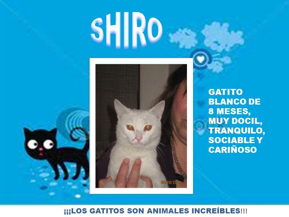 GATITO BLANCO DE 8 MESES, MUY DOCIL, TRANQUILO, SOCIABLE Y CARIÑOSO ¡¡¡LOS GATITOS SON ANIMALES INCREÍBLES !!!