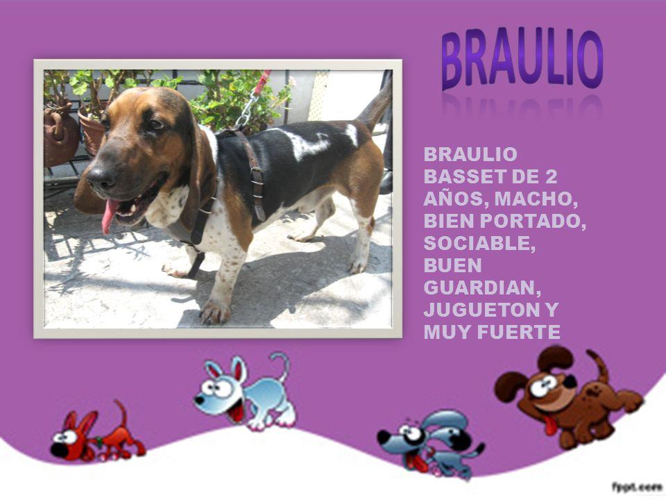 BRAULIO BASSET DE 2 AÑOS, MACHO, BIEN PORTADO, SOCIABLE, BUEN GUARDIAN, JUGUETON Y MUY FUERTE