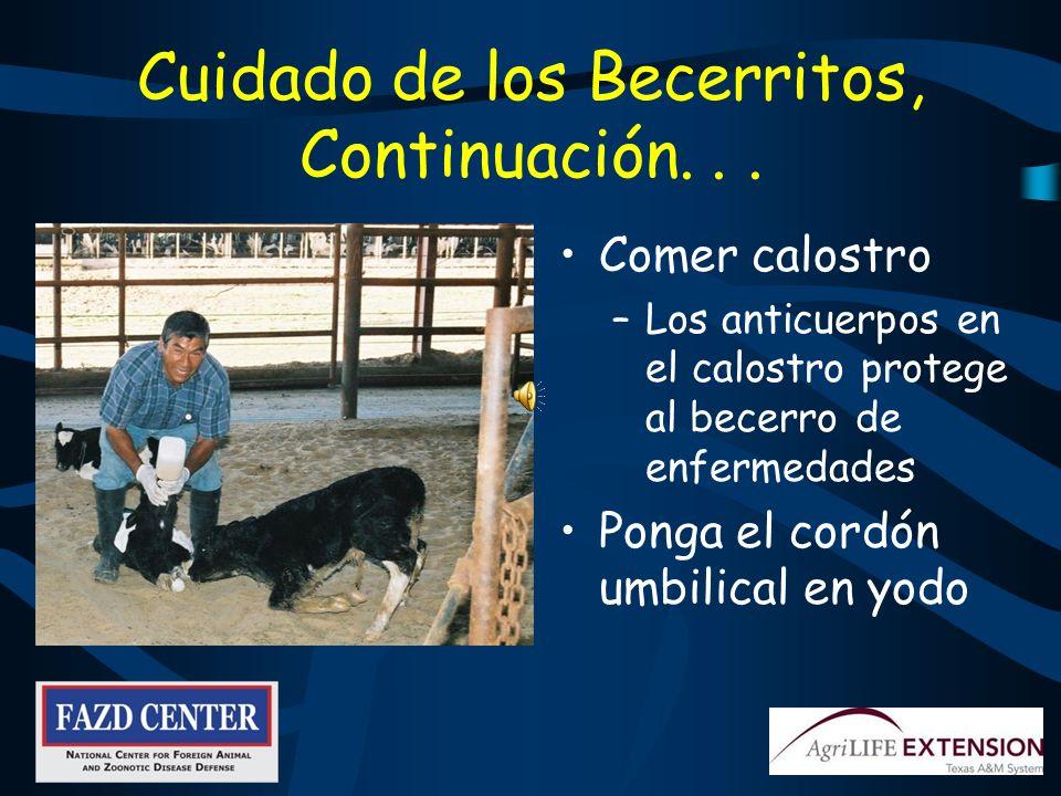 Si Usted es Responsable de Cuidar a los Becerritos Proporcione un lugar limpio y seco Separe a los becerros de los animales viejos Trabaje primero con