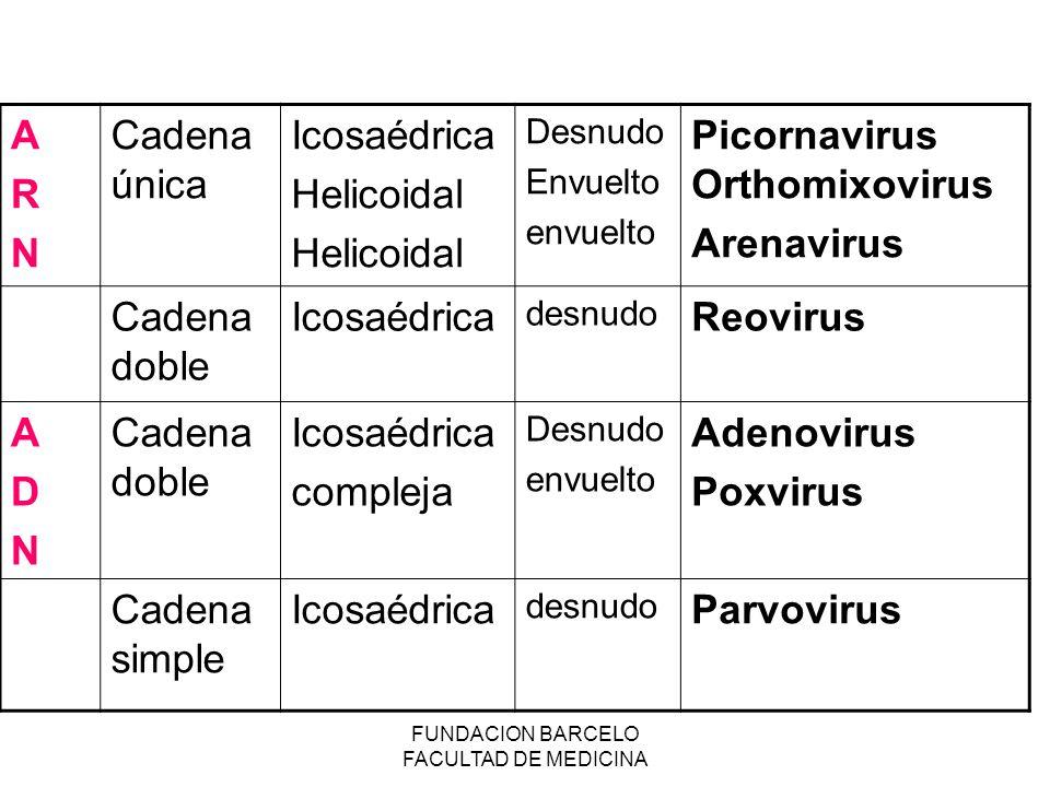 FUNDACION BARCELO FACULTAD DE MEDICINA ARNARN Cadena única Icosaédrica Helicoidal Desnudo Envuelto envuelto Picornavirus Orthomixovirus Arenavirus Cad