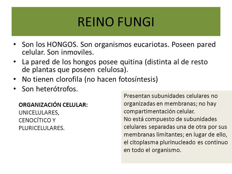 REINO FUNGI Son los HONGOS. Son organismos eucariotas. Poseen pared celular. Son inmoviles. La pared de los hongos posee quitina (distinta al de resto
