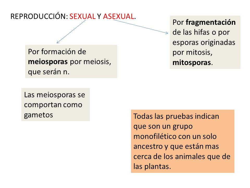 REPRODUCCIÓN: SEXUAL Y ASEXUAL. Por formación de meiosporas por meiosis, que serán n. Por fragmentación de las hifas o por esporas originadas por mito