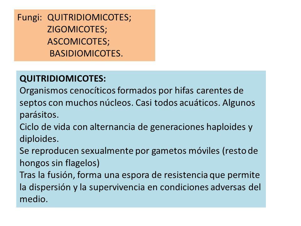 Fungi: QUITRIDIOMICOTES; ZIGOMICOTES; ASCOMICOTES; BASIDIOMICOTES. QUITRIDIOMICOTES: Organismos cenocíticos formados por hifas carentes de septos con