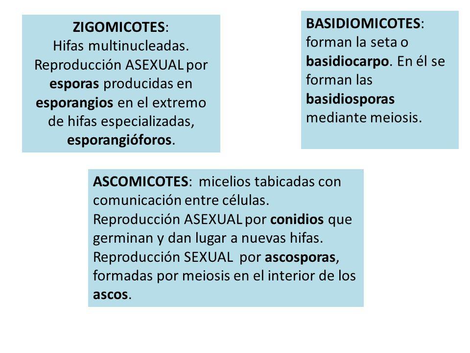 ZIGOMICOTES: Hifas multinucleadas. Reproducción ASEXUAL por esporas producidas en esporangios en el extremo de hifas especializadas, esporangióforos.