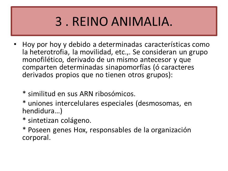 3. REINO ANIMALIA. Hoy por hoy y debido a determinadas características como la heterotrofia, la movilidad, etc.,. Se consideran un grupo monofilético,