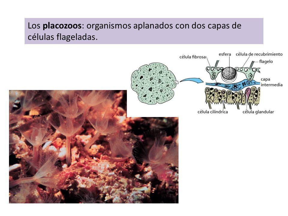 Los placozoos: organismos aplanados con dos capas de células flageladas.
