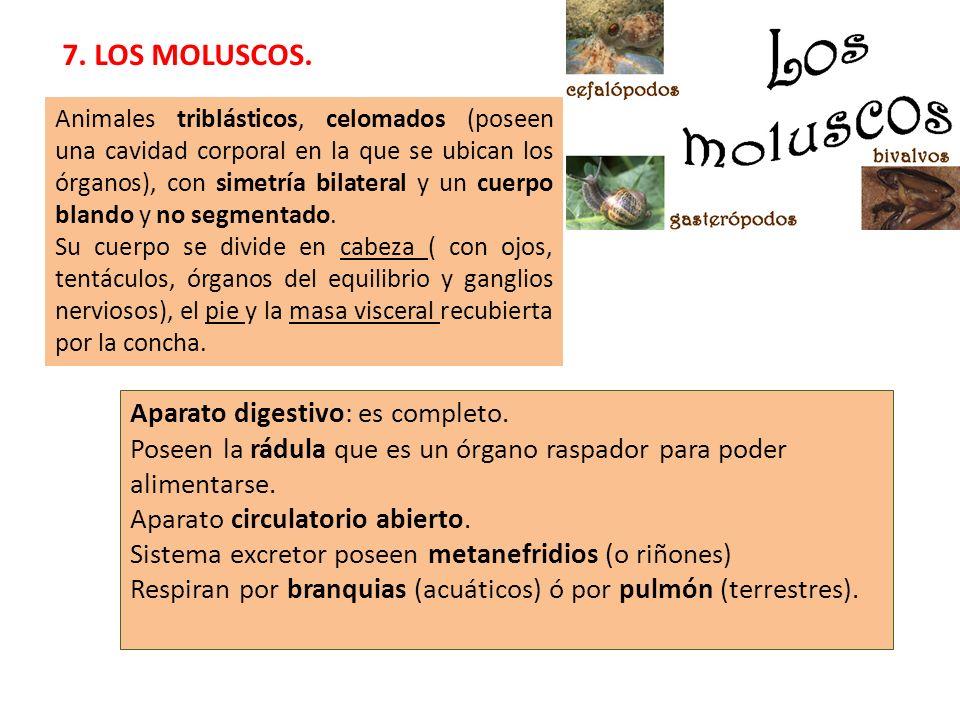 7. LOS MOLUSCOS. Animales triblásticos, celomados (poseen una cavidad corporal en la que se ubican los órganos), con simetría bilateral y un cuerpo bl