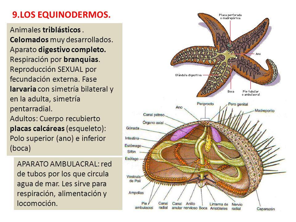 9.LOS EQUINODERMOS. Animales triblásticos. Celomados muy desarrollados. Aparato digestivo completo. Respiración por branquias. Reproducción SEXUAL por