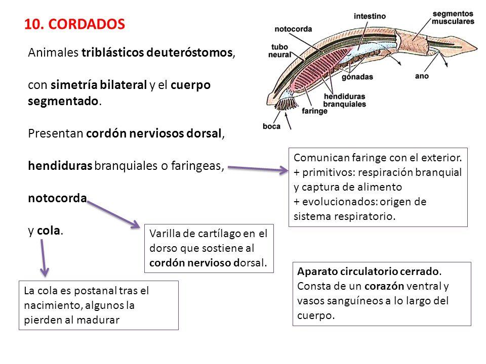 10. CORDADOS Animales triblásticos deuteróstomos, con simetría bilateral y el cuerpo segmentado. Presentan cordón nerviosos dorsal, hendiduras branqui