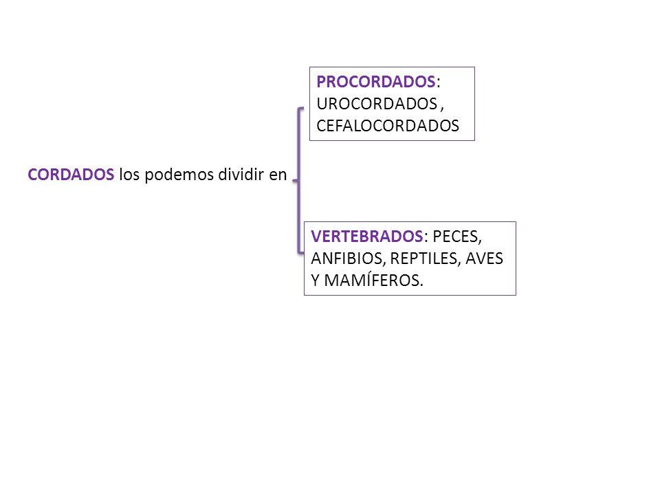 CORDADOS los podemos dividir en PROCORDADOS: UROCORDADOS, CEFALOCORDADOS VERTEBRADOS: PECES, ANFIBIOS, REPTILES, AVES Y MAMÍFEROS.