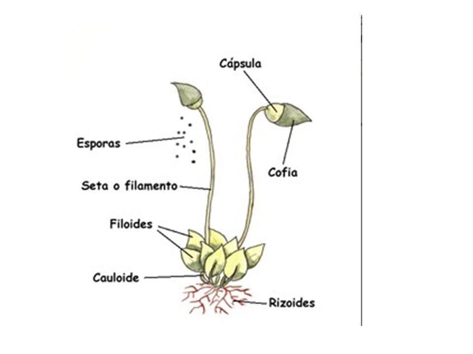 3.TRAQUEOFITAS. (HELECHOS) Son plantas vasculares.