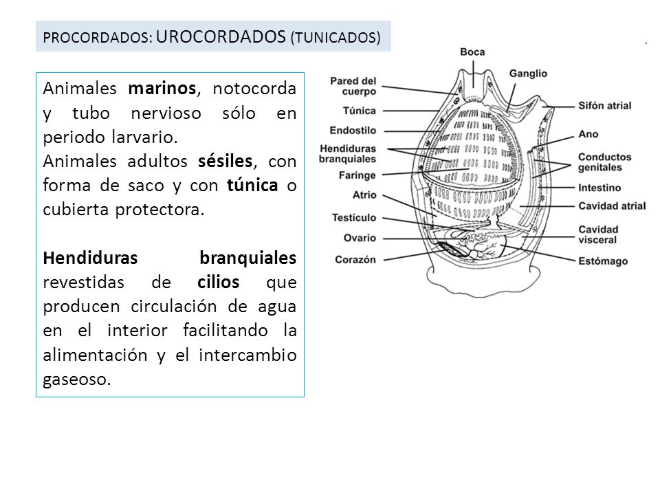 PROCORDADOS: UROCORDADOS (TUNICADOS) Animales marinos, notocorda y tubo nervioso sólo en periodo larvario. Animales adultos sésiles, con forma de saco