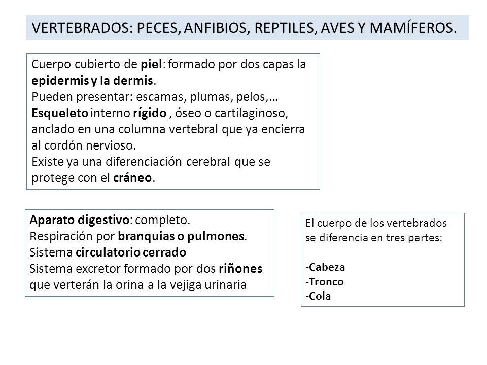 VERTEBRADOS: PECES, ANFIBIOS, REPTILES, AVES Y MAMÍFEROS. Cuerpo cubierto de piel: formado por dos capas la epidermis y la dermis. Pueden presentar: e