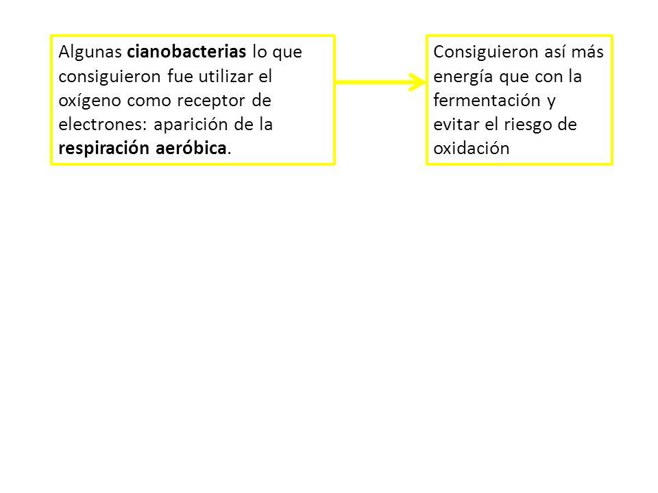 Algunas cianobacterias lo que consiguieron fue utilizar el oxígeno como receptor de electrones: aparición de la respiración aeróbica. Consiguieron así