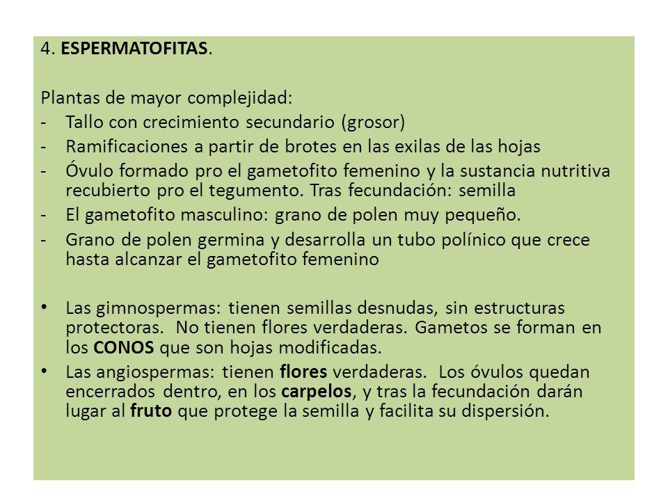 4. ESPERMATOFITAS. Plantas de mayor complejidad: -Tallo con crecimiento secundario (grosor) -Ramificaciones a partir de brotes en las exilas de las ho