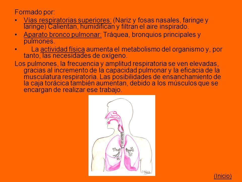 Formado por: Vías respiratorias superiores: (Nariz y fosas nasales, faringe y laringe) Calientan, humidifican y filtran el aire inspirado. Aparato bro