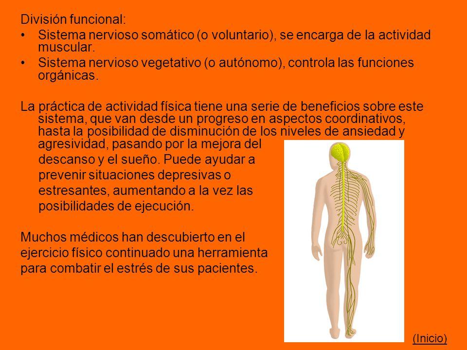 División funcional: Sistema nervioso somático (o voluntario), se encarga de la actividad muscular. Sistema nervioso vegetativo (o autónomo), controla