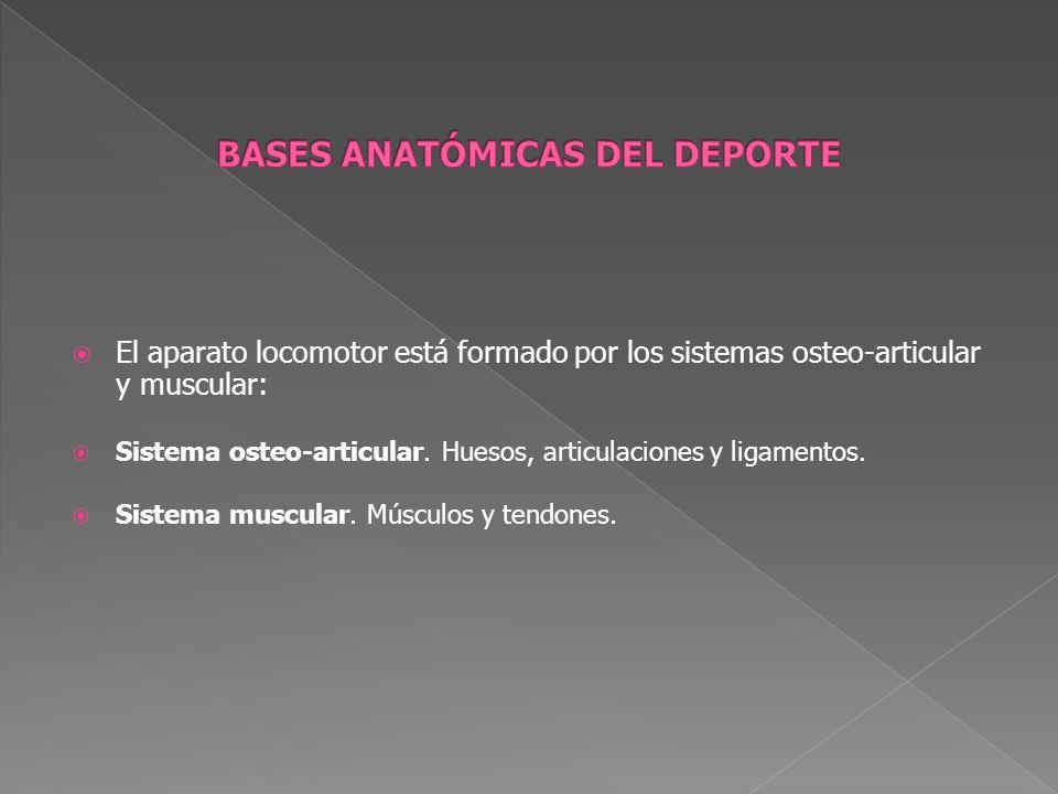 El aparato locomotor está formado por los sistemas osteo-articular y muscular: Sistema osteo-articular. Huesos, articulaciones y ligamentos. Sistema m