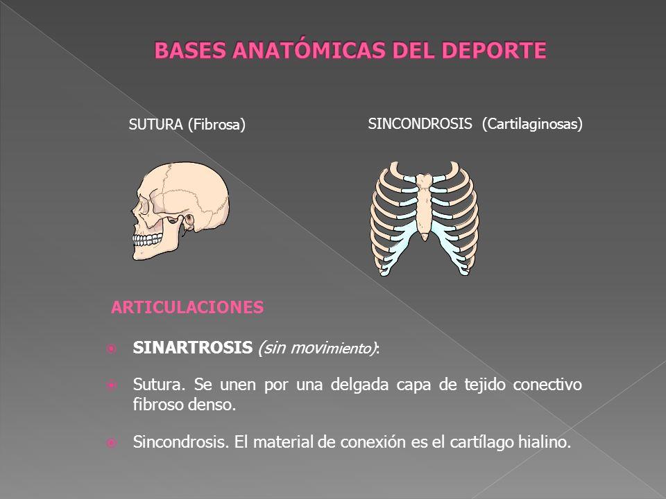 ARTICULACIONES SINARTROSIS (sin movi miento): Sutura. Se unen por una delgada capa de tejido conectivo fibroso denso. Sincondrosis. El material de con