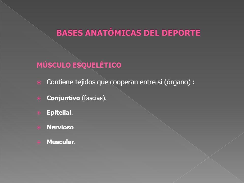 MÚSCULO ESQUELÉTICO Contiene tejidos que cooperan entre si (órgano) : Conjuntivo (fascias). Epitelial. Nervioso. Muscular.