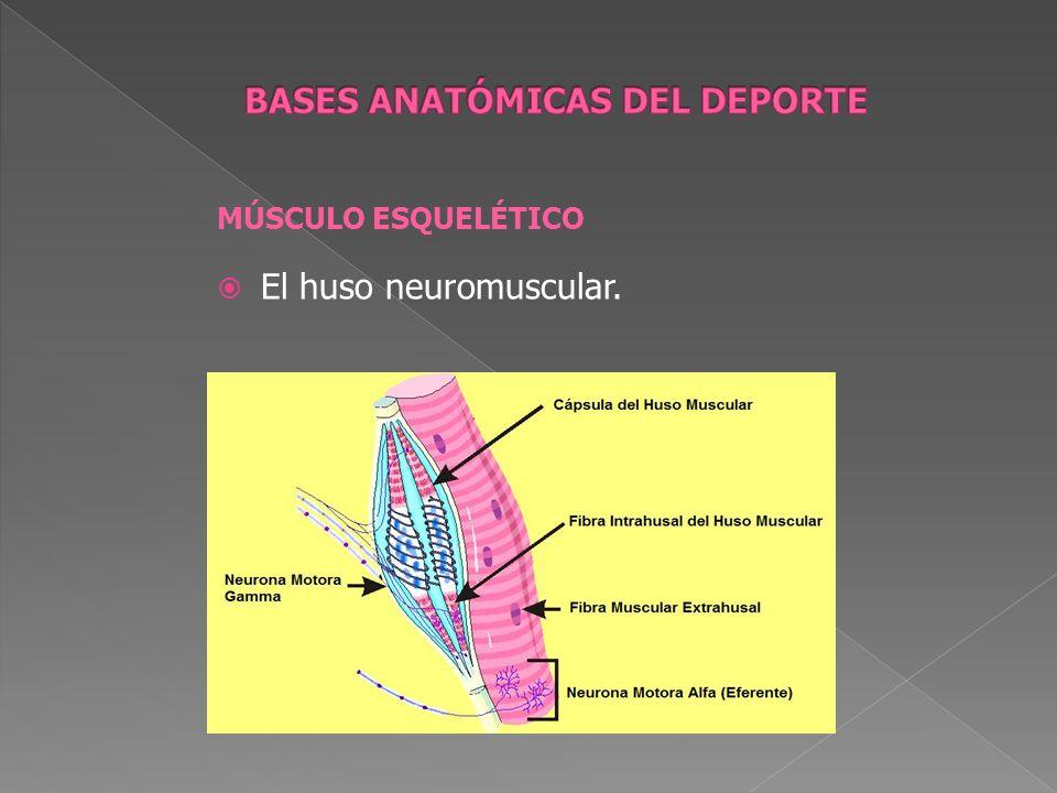 MÚSCULO ESQUELÉTICO El huso neuromuscular.