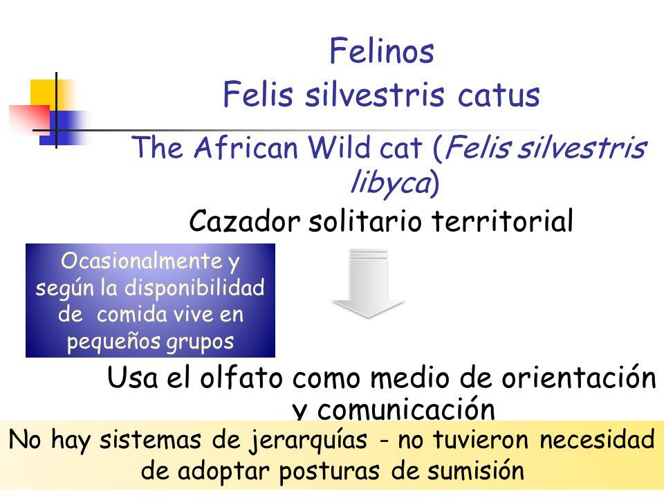 22/04/201411 Felinos Felis silvestris catus The African Wild cat (Felis silvestris libyca) Cazador solitario territorial Usa el olfato como medio de o