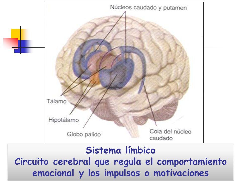Sistema límbico Circuito cerebral que regula el comportamiento emocional y los impulsos o motivaciones Sistema límbico Circuito cerebral que regula el