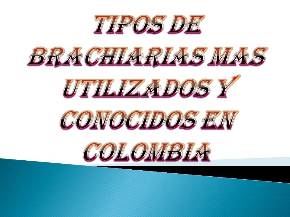 Nombre Científico de la especie: Brachiaria de Cumbens Nombre Común de la especie: Brachiaria de Cumbens Origen de la especie: África Origen de la semilla: Brasil- Colombia.
