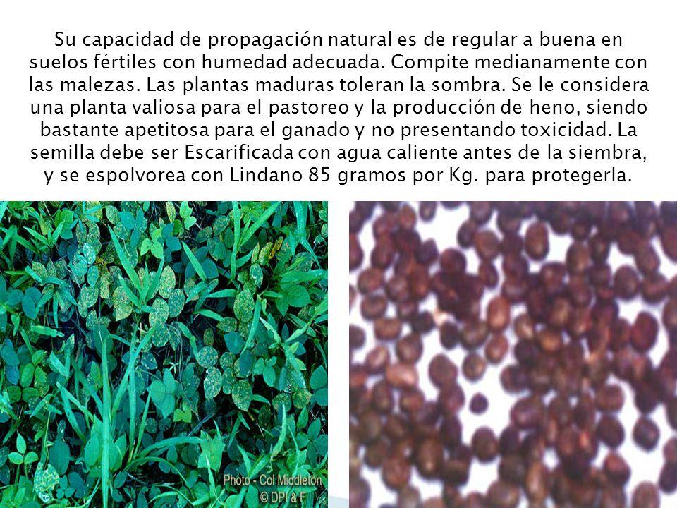 Su capacidad de propagación natural es de regular a buena en suelos fértiles con humedad adecuada. Compite medianamente con las malezas. Las plantas m