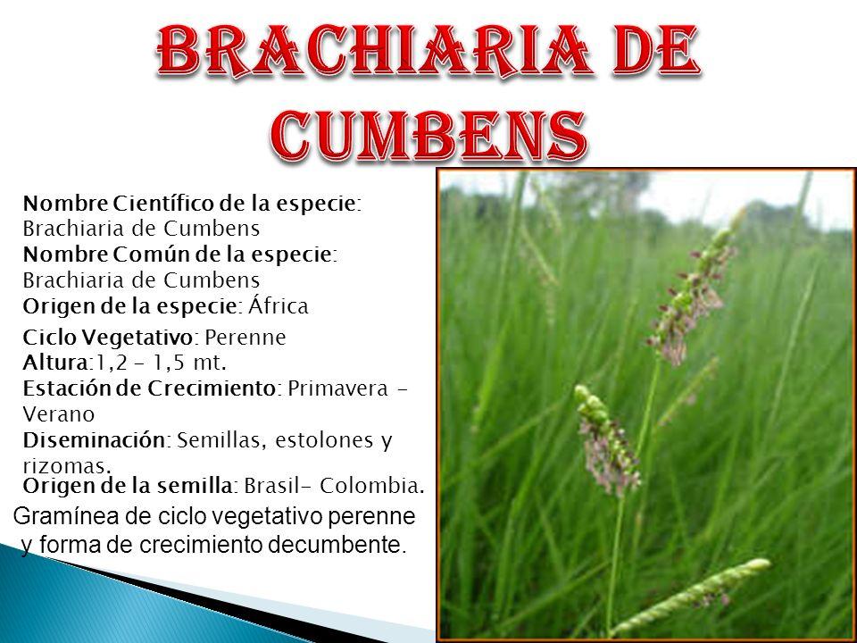Nombre Científico de la especie: Brachiaria de Cumbens Nombre Común de la especie: Brachiaria de Cumbens Origen de la especie: África Origen de la sem