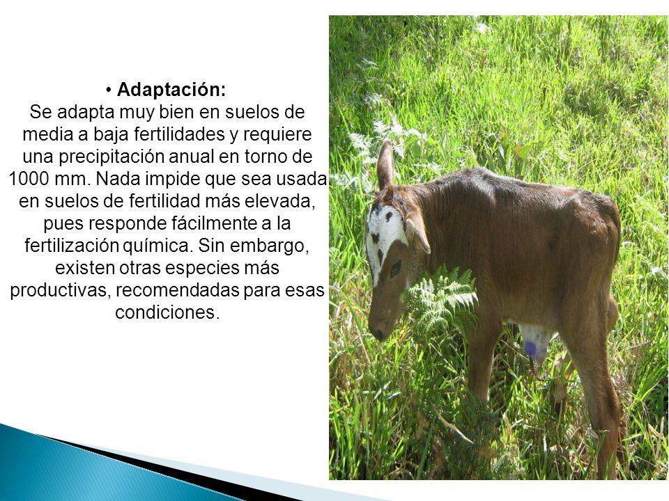 Adaptación: Se adapta muy bien en suelos de media a baja fertilidades y requiere una precipitación anual en torno de 1000 mm. Nada impide que sea usad