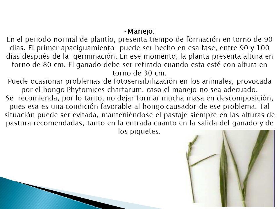 Manejo: En el periodo normal de plantío, presenta tiempo de formación en torno de 90 días. El primer apaciguamiento puede ser hecho en esa fase, entre