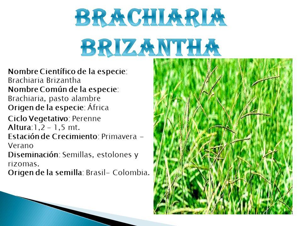 Nombre Científico de la especie: Brachiaria Brizantha Nombre Común de la especie: Brachiaria, pasto alambre Origen de la especie: África Ciclo Vegetat
