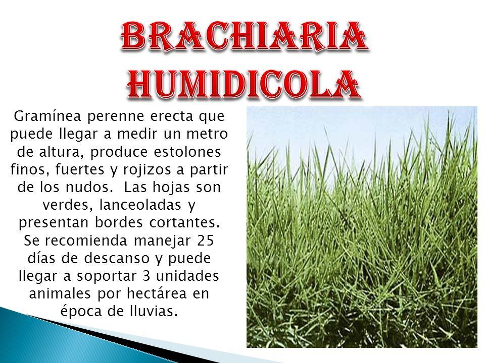 Nombre comúnPasto aguja Nombre cientificoBrachiaria humidicola Otros nombresHumidicola, brachiaria, braquiaria dulce, Quicuio del Amazonas, capim aguja, pasto dulce.