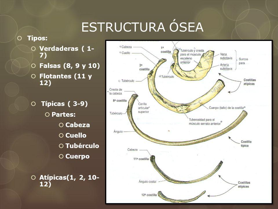 ESTRUCTURA ÓSEA Tipos: Verdaderas ( 1- 7) Falsas (8, 9 y 10) Flotantes (11 y 12) Típicas ( 3-9) Partes: Cabeza Cuello Tubérculo Cuerpo Atípicas(1, 2,