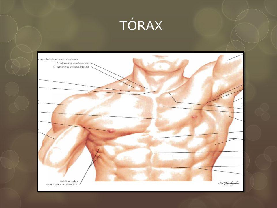 CAPA MÚSCULAR Músculos axioapendiculares Pect. Mayor Pect. Menor Porción inferior del serrato ant.)