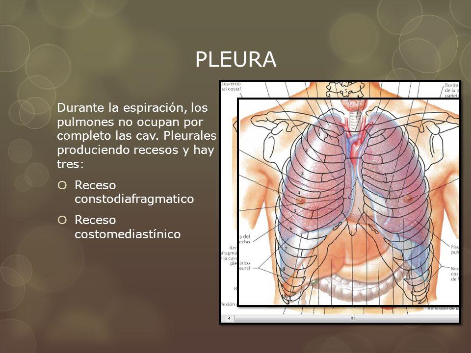 PLEURA Durante la espiración, los pulmones no ocupan por completo las cav. Pleurales produciendo recesos y hay tres: Receso constodiafragmatico Receso