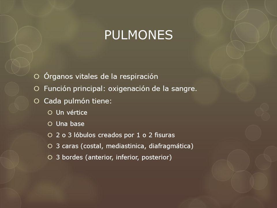 PULMONES Órganos vitales de la respiración Función principal: oxigenación de la sangre. Cada pulmón tiene: Un vértice Una base 2 o 3 lóbulos creados p