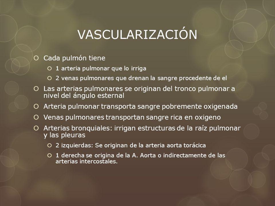 VASCULARIZACIÓN Cada pulmón tiene 1 arteria pulmonar que lo irriga 2 venas pulmonares que drenan la sangre procedente de el Las arterias pulmonares se