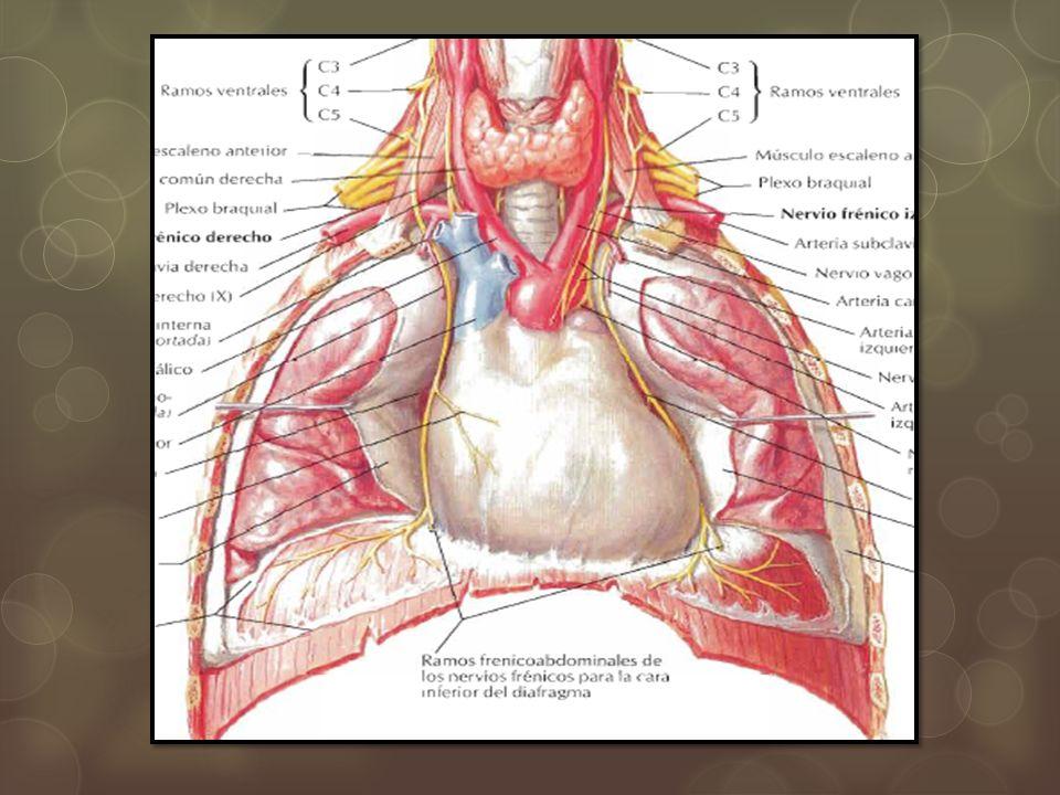 PLEURA Membrana serosa que recubre los pulmones y sus estructuras relacionadas Se divide en : Pleura parietal: Porción costal Porción mediastinica Porción diafragmática Pleura visceral Ambas pleuras se continúan a nivel del pedículo pulmonar separadas por un espacio pleural Liquido pleural