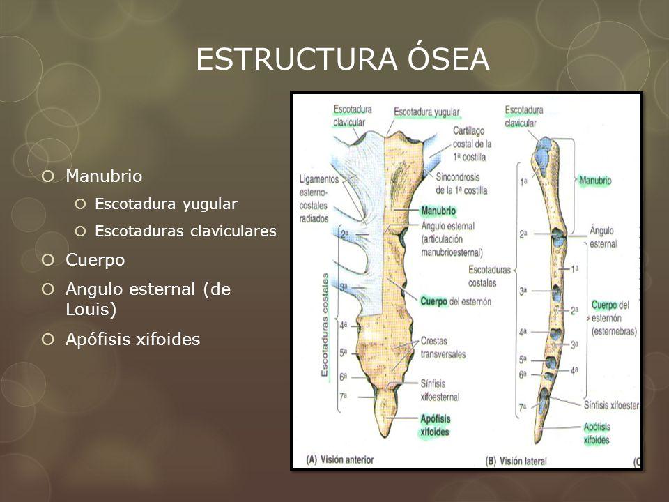 Manubrio Escotadura yugular Escotaduras claviculares Cuerpo Angulo esternal (de Louis) Apófisis xifoides