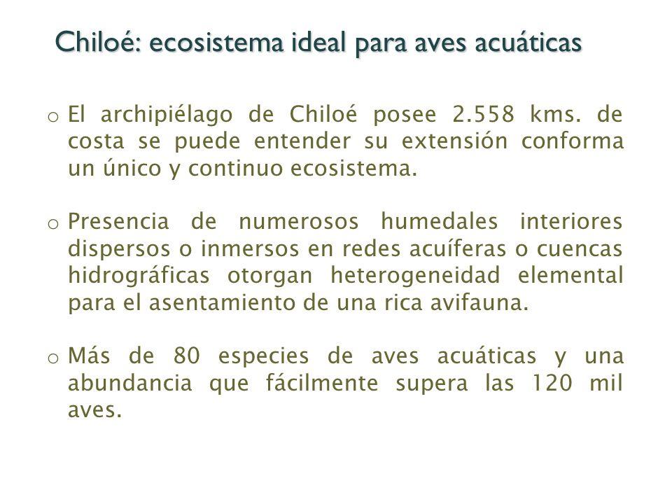 Chiloé: ecosistema ideal para aves acuáticas o El archipiélago de Chiloé posee 2.558 kms. de costa se puede entender su extensión conforma un único y