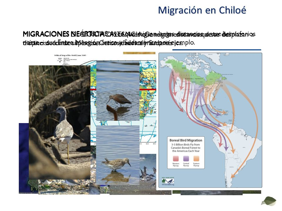 Migración en Chiloé MIGRACIONES DE CORTA DISTANCIA: Generalmente aves que se desplazan a distancias donde suplen sus necesidades alimentarias MIGRACIO