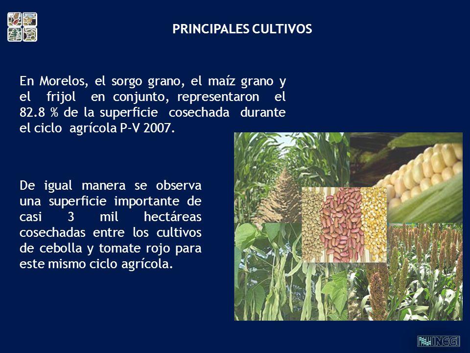 En Morelos, el sorgo grano, el maíz grano y el frijol en conjunto, representaron el 82.8 % de la superficie cosechada durante el ciclo agrícola P-V 20