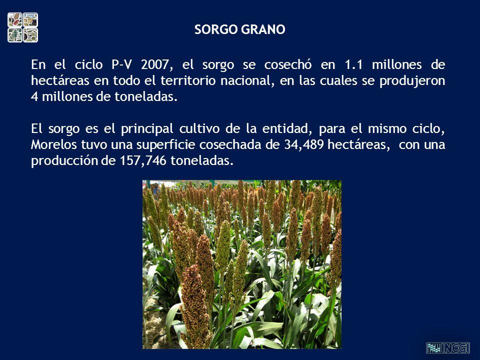 En el ciclo P-V 2007, el sorgo se cosechó en 1.1 millones de hectáreas en todo el territorio nacional, en las cuales se produjeron 4 millones de tonel
