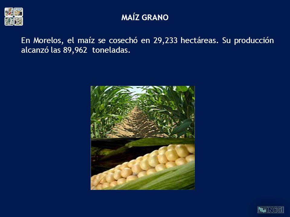 En Morelos, el maíz se cosechó en 29,233 hectáreas. Su producción alcanzó las 89,962 toneladas. MAÍZ GRANO