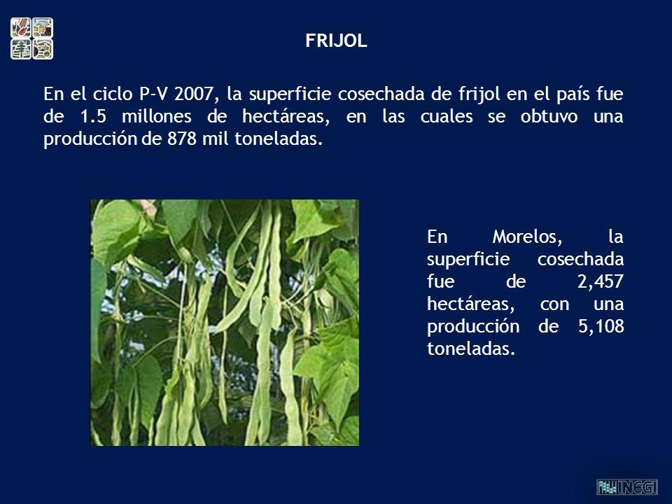 En el ciclo P-V 2007, la superficie cosechada de frijol en el país fue de 1.5 millones de hectáreas, en las cuales se obtuvo una producción de 878 mil