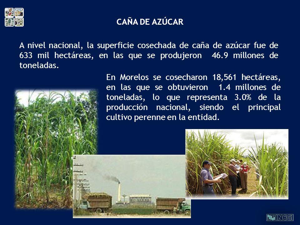 CAÑA DE AZÚCAR En Morelos se cosecharon 18,561 hectáreas, en las que se obtuvieron 1.4 millones de toneladas, lo que representa 3.0% de la producción